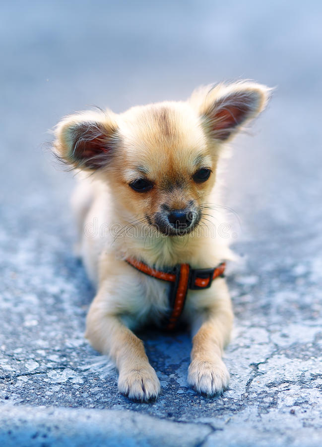 Little charming adorable chihuahua puppy on blurred background. sitting on the ground. Little charming adorable chihuahua puppy on blurred background. sitting stock photo
