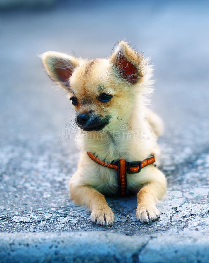 Little charming adorable chihuahua puppy on blurred background. sitting on the ground. Little charming adorable chihuahua puppy on blurred background. sitting stock photography