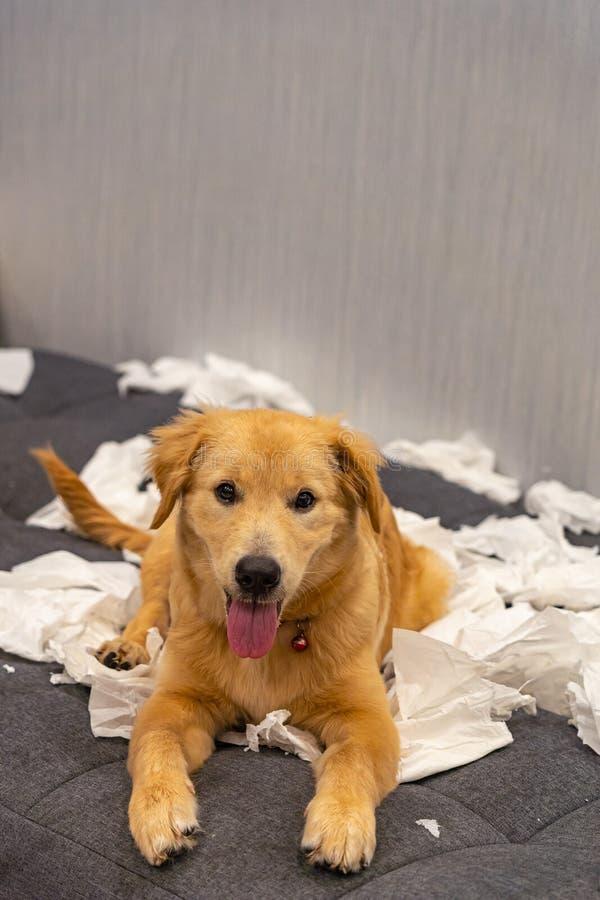 Little cheerful golden retriever dog playing toilet paper on sofa. Little beautiful golden retriever dog playing toilet paper on sofa stock image