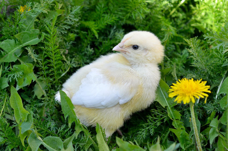 Little chick. A beautiful little chick on the grass royalty free stock photography