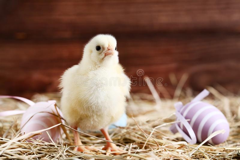 Little chick with easter eggs stock images
