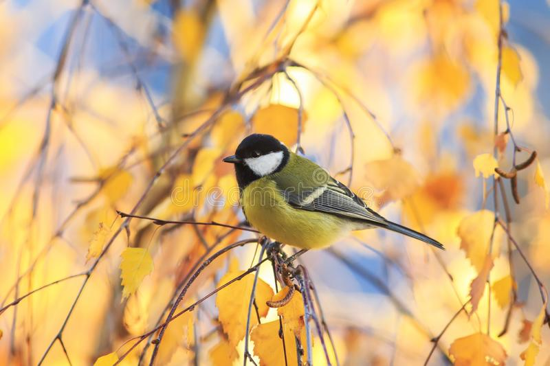 little chickadee bird sitting on a birch tree with bright yellow autumn leaves stock images