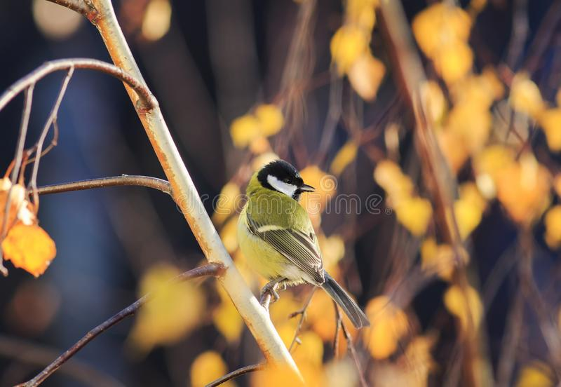 little chickadee bird sitting in a Sunny autumn Park at tree, a birch tree with bright yellow autumn leaves stock photography