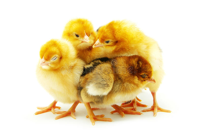 Little chicken royalty free stock images
