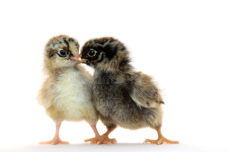 Little Chicken. Picture of two little Barnevelders royalty free stock image