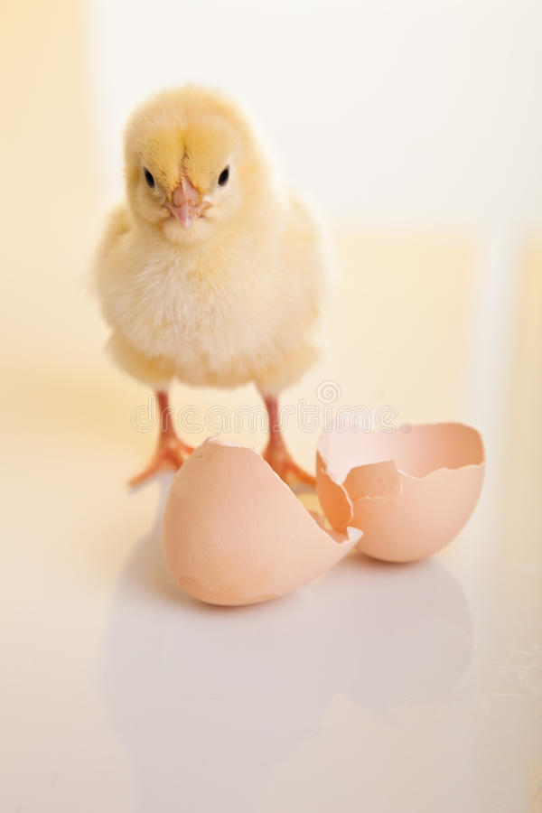Free Little Chicken Animal Isolated Royalty Free Stock Photo - 18135685