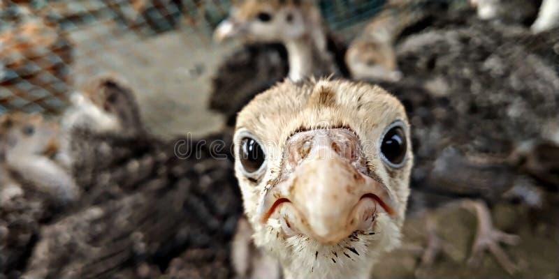 Little chicken. Chicken farm . stock photography