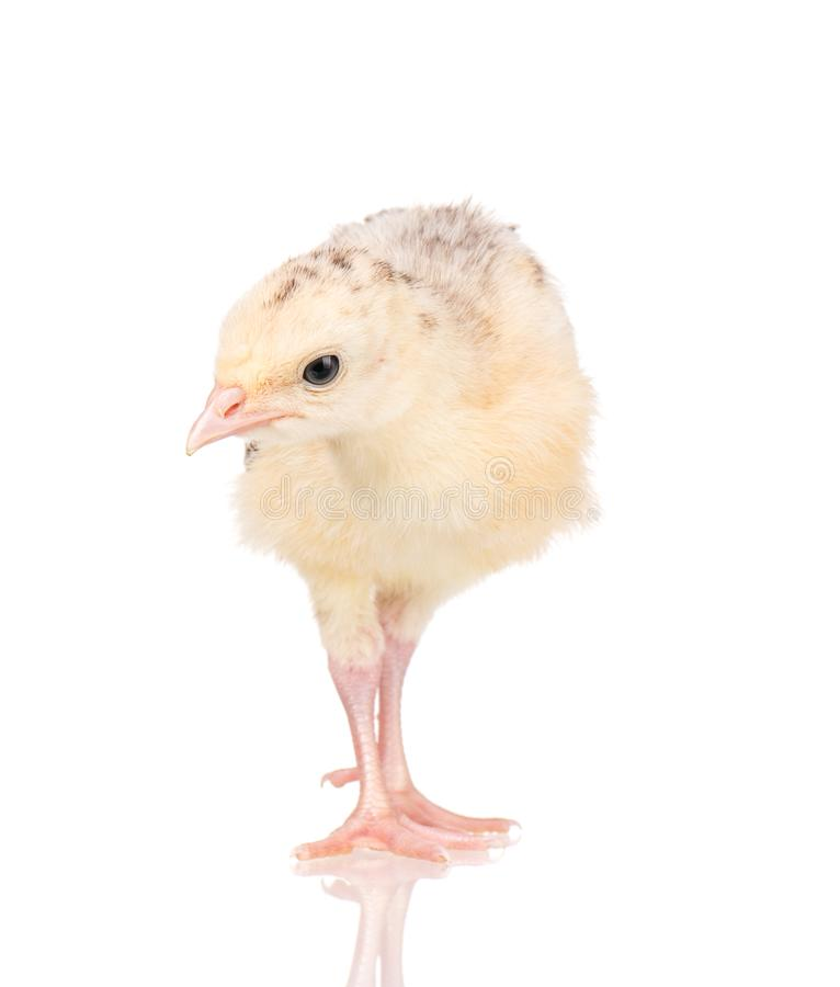 Little chicken turkey royalty free stock images