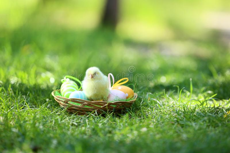 Little chicks with easter eggs stock photo