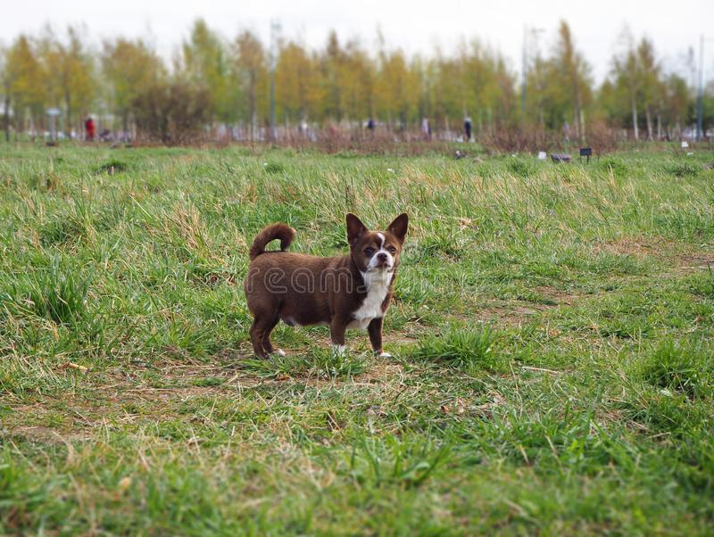 Little chihuahua dog in the park. In the green grass royalty free stock photography