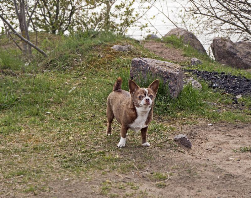 Little chihuahua dog in the park. Little chihuahua dog is standing  in the park stock photography