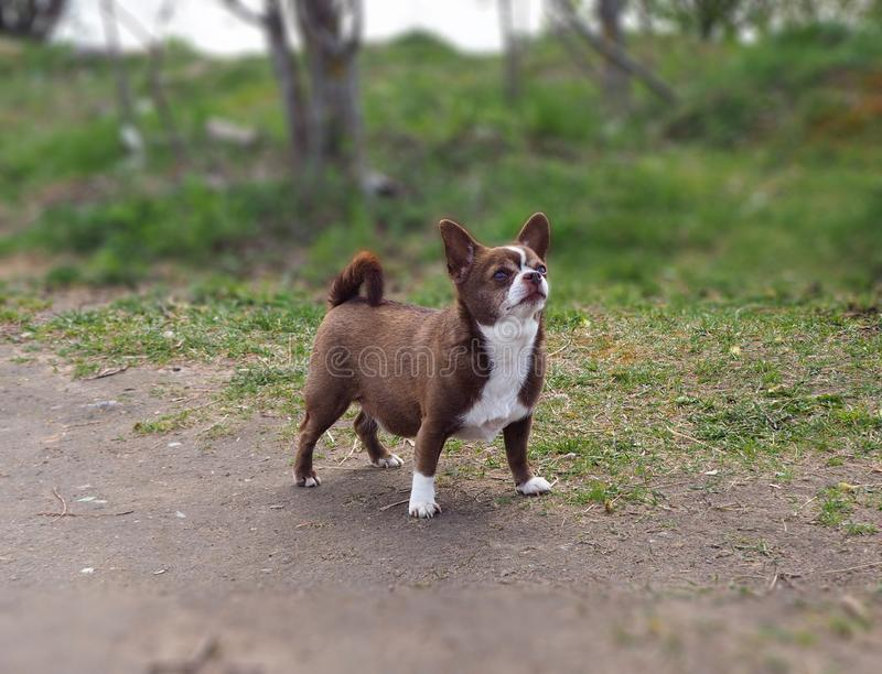 Little chihuahua dog in the park. Looking up stock photo