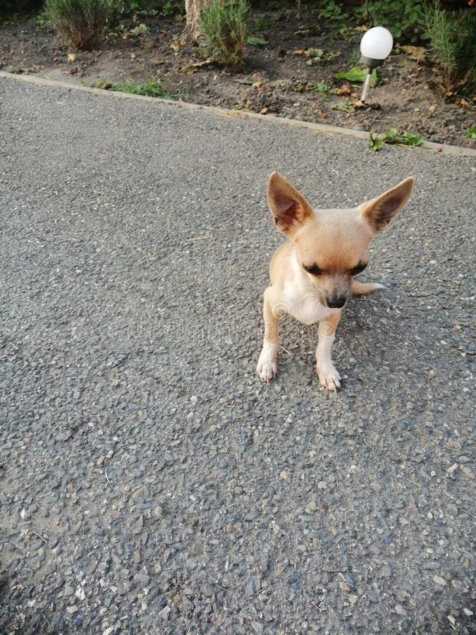 Little chihuahua doggy on asphalt stock image