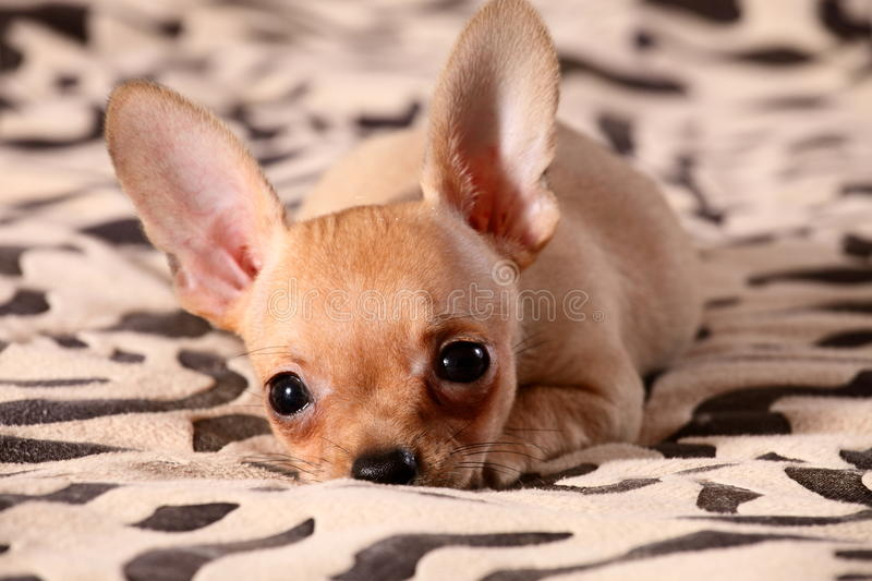 Little Chihuahua Lays On A Coverlet Stock Photography