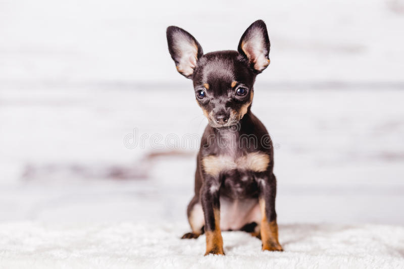 Little chihuahua puppy dog. Little chihuahua puppy on the background royalty free stock image