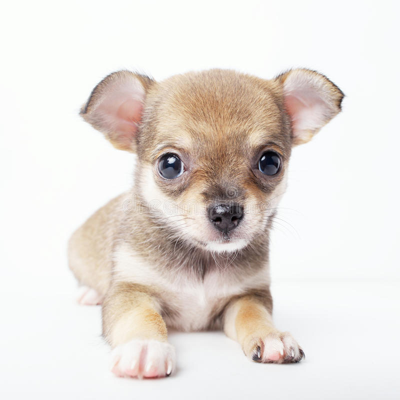Little chihuahua puppy on white background. Photo of little chihuahua puppy on white background royalty free stock photos