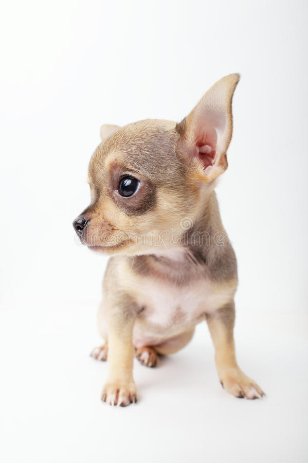 Little chihuahua puppy on white background. Photo of little chihuahua puppy on white background royalty free stock photo