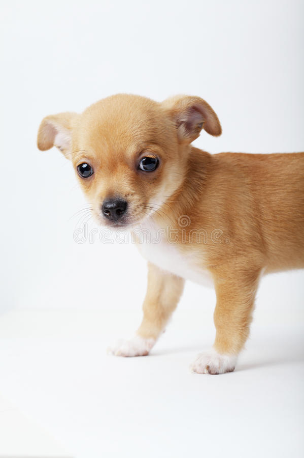 Little chihuahua puppy on white background. Photo of little chihuahua puppy on white background royalty free stock images