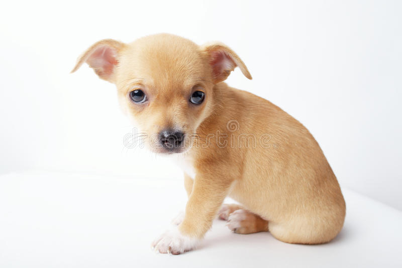 Little chihuahua puppy on white background. Photo of little chihuahua puppy on white background royalty free stock photography