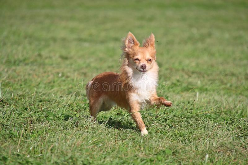 Little chihuahua. Is running in the garden royalty free stock images