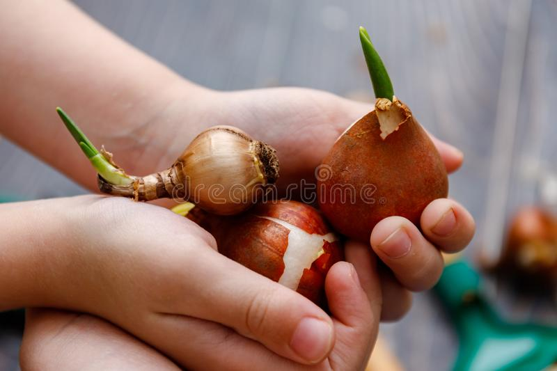 Little child doing gardening with various flower bulbs. Spring activities outdoor and on a balcony. Little child doing gardening with various flower bulbs stock photography