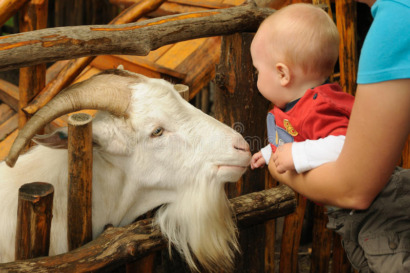 Little child with goat. Little child on mother arms stroking a white goat with beard standing behind a wooden fence royalty free stock image