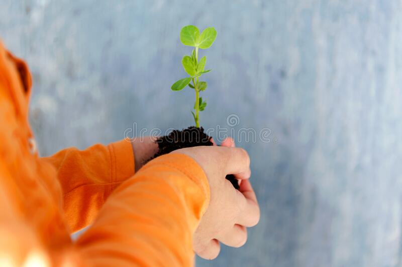 Little child holding a green plant with soil in his hands.  royalty free stock photo