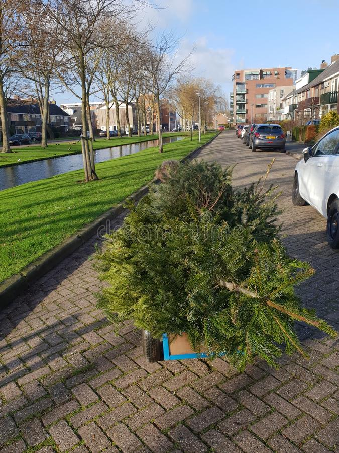 Little child is collecting old christmas trees with his skelter which collected by municipality of Zuidplas stock photo
