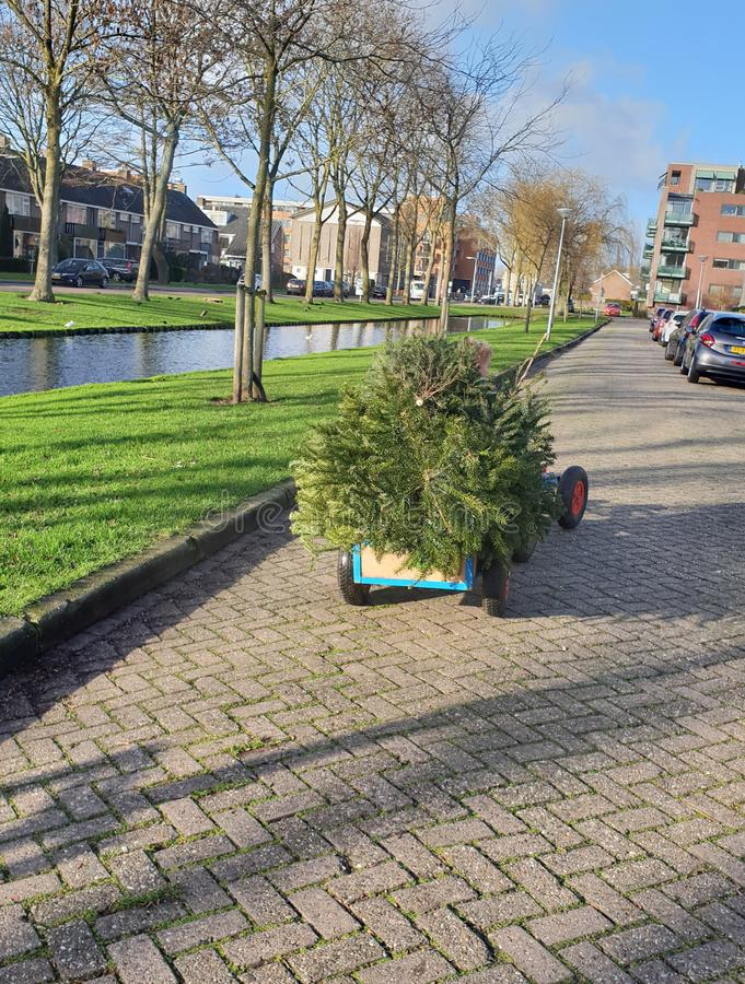 Little child is collecting old christmas trees with his skelter which collected by municipality of Zuidplas royalty free stock photo