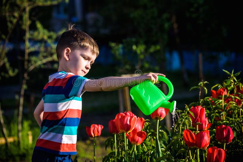 Little child walking near tulips on the flower bed in beautiful spring day. Kid boy outdoors in the garden with watering can royalty free stock photos