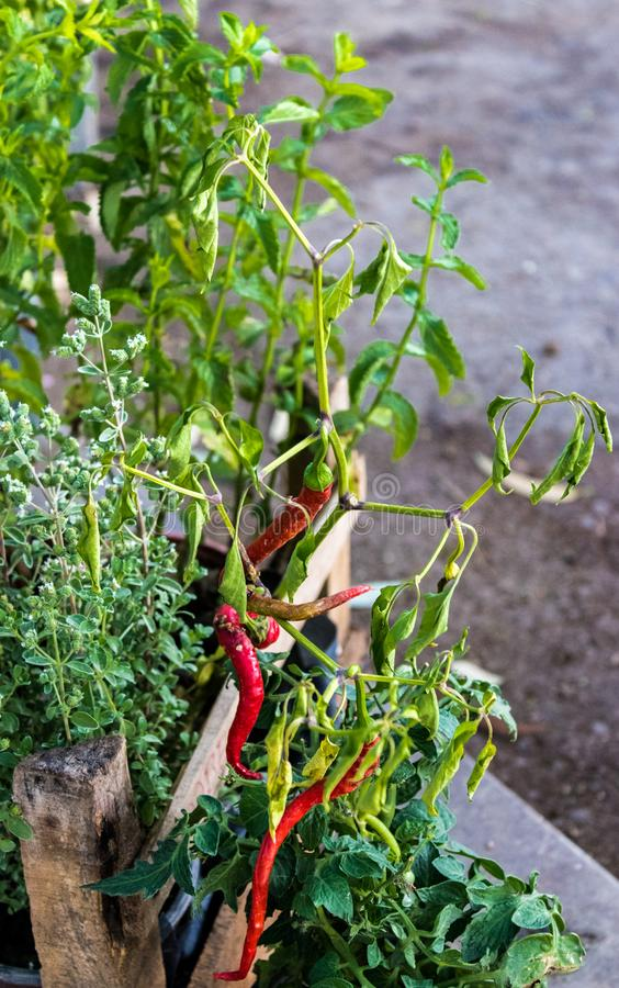 Red chili pepper plant - red and green stock photo
