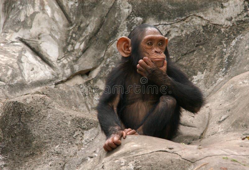 Little Chimpanzee. A little chimpanzee (Pan troglodytes) at Dusit Zoo in Bangkok, Thailand stock photo