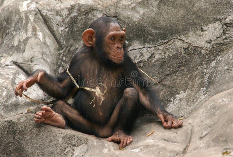 Little Chimpanzee. A little chimpanzee (Pan troglodytes) at Dusit Zoo in Bangkok, Thailand royalty free stock photography