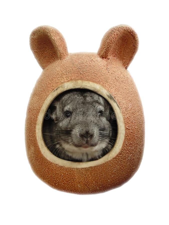 Little chinchilla is an Exotic pet with soft soft hair stock photos