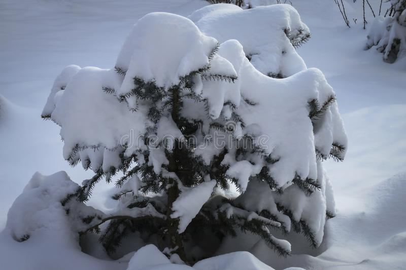Little Christmas tree is completely covered with white fluffy snow. stock images