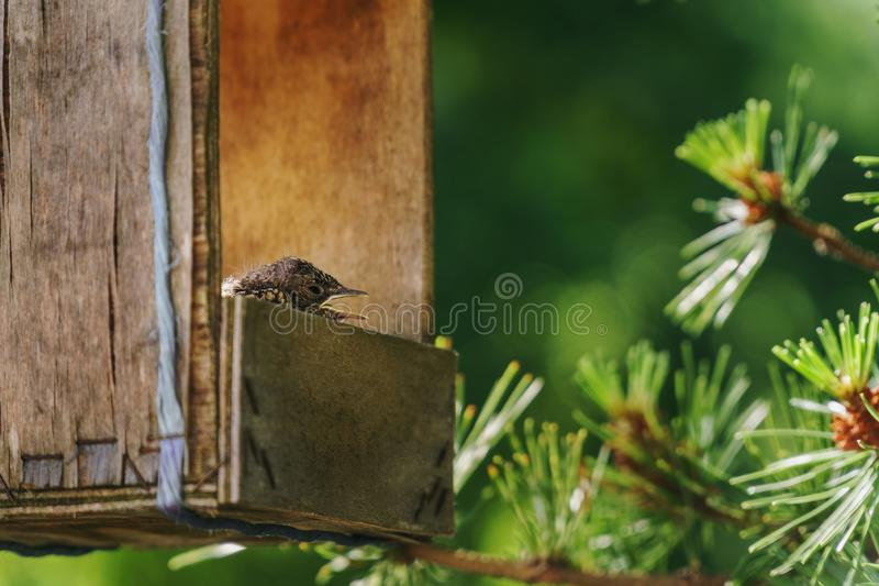 Little common thrush chicks with open mouths sitting in a nest inside and old wooden handmade feeding trough hanging from a pine royalty free stock photo