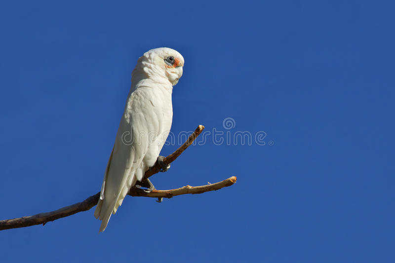 Download Little Corella Royalty Free Stock Image - Image: 17391856