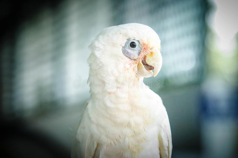 Little Corella is cute pet royalty free stock image