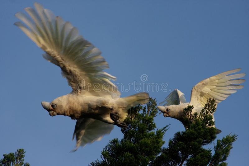 Little Corella parrots. Little Corellas--birds in flight--white parrots endemic to Australia royalty free stock photo