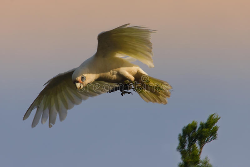 Little Corella parrots. Little Corella--bird in flight--white parrot endemic to Australia. The little Corella is a colony bird, commonly found around the coastal royalty free stock photo