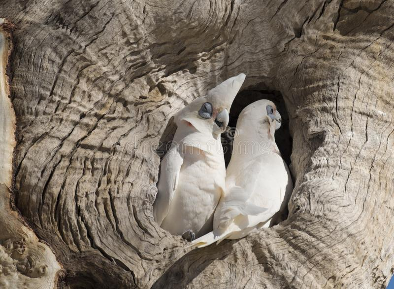 Little corellas at a nest on Cooper creek. South Australia royalty free stock photos
