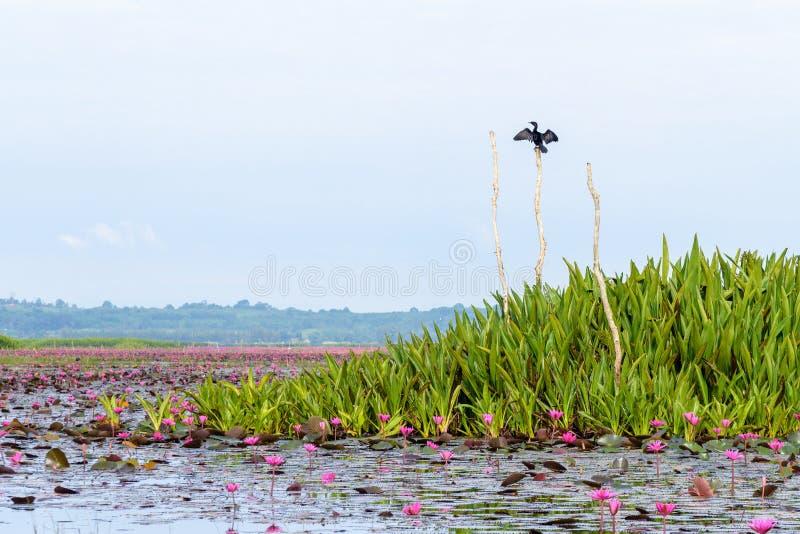Little Cormorant vid Thale Noi Waterfowl Park, Thailand royaltyfri foto
