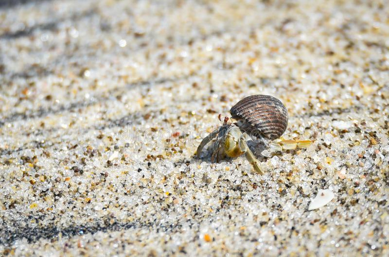 Little crab carries his shell in hot sand along coastal water. royalty free stock image