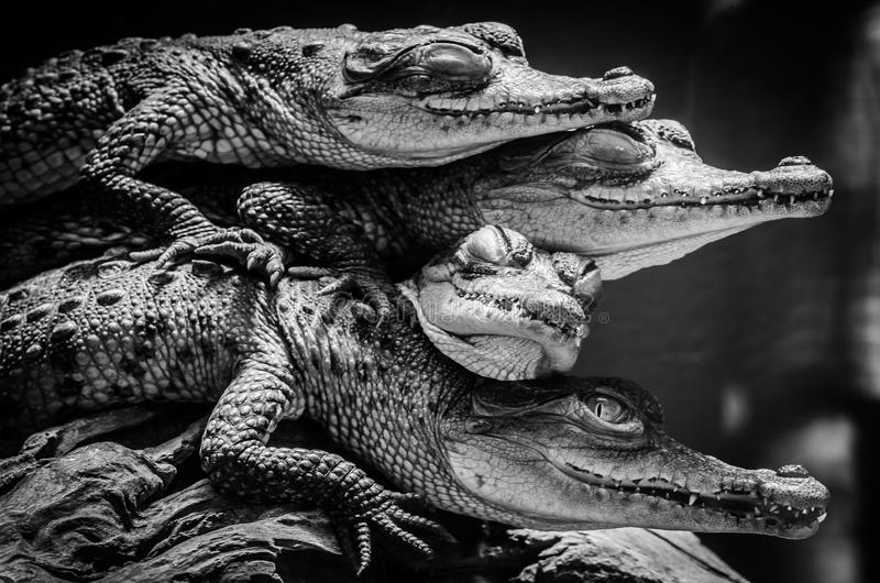 Little crocodiles resting and stacked stock photos