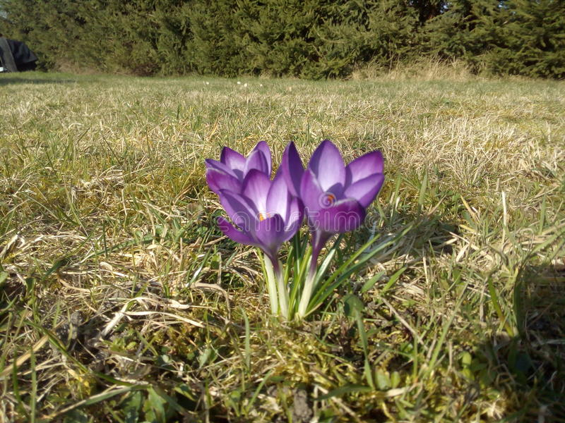 Little crocus stock photos