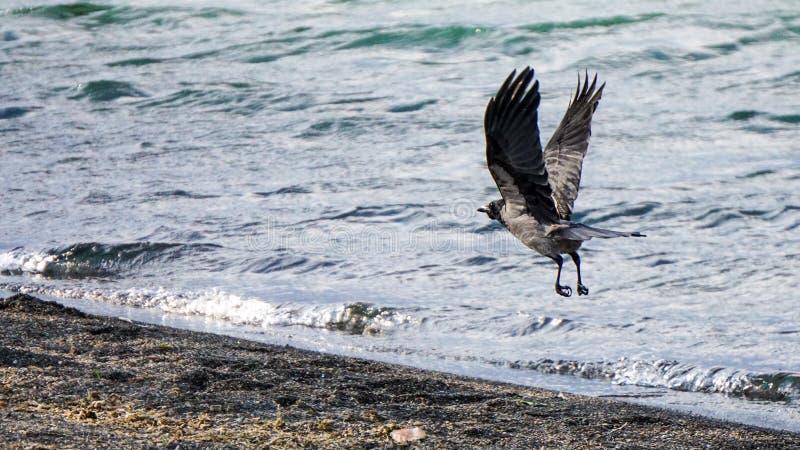 A little Crow on Bolsena lake, Italy. A gray Crow taking off on the bolsena lake royalty free stock photos