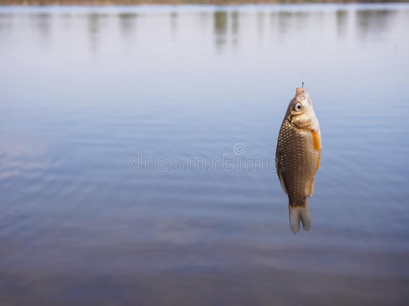 Little crucian hanging on a hook above the water stock images