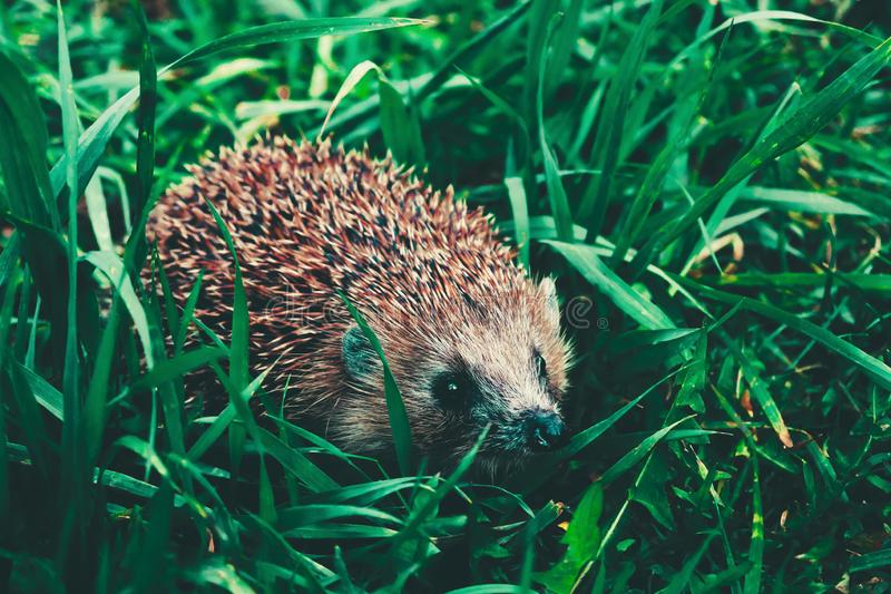 A little curious hedgehog makes its way through the dense green grass on a summer sunny day. He has sharp brown spines and small black eyes. close angle royalty free stock photo
