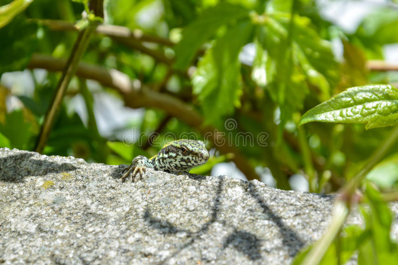 A little curious lizard sits on a rock stock photo