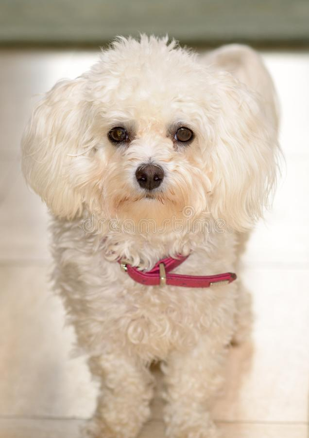 Little curly white toy poodle with red collar royalty free stock image